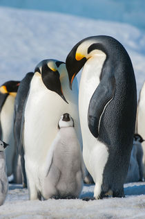 ANTARCTICA, WEDDELL SEA, SNOW HILL ISLAND, EMPEROR PENGUINS Aptenodytes forsteri,  COLONY, COUPLE WITH CHICK by Wolfgang Kaehler
