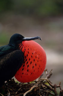 ECUADOR,GALAPAGOS ISLANDS, TOWER ISLAND, FRIGATE BIRD COLONY, MALE WITH INFLATED THROAT POUCH by Wolfgang Kaehler