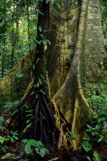 ECUADOR, AMAZON BASIN, RIO NAPO, RAINFOREST, CEIBA TREE, ROOTS by Wolfgang Kaehler