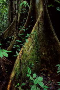 ECUADOR, AMAZON BASIN, RIO NAPO, RAINFOREST, CEIBA TREE, ROOTS von Wolfgang Kaehler