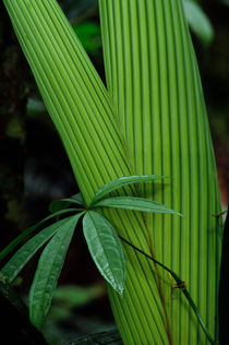 ECUADOR, AMAZON BASIN, RIO NAPO, RAINFOREST, LEAVES by Wolfgang Kaehler