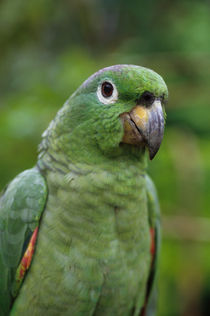 ECUADOR, AMAZON BASIN, RIO NAPO, RAINFOREST, MEALY PARROT, CLOSE-UP by Wolfgang Kaehler