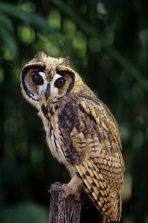 A juvenile Striped owl (Pseudoscops clamator) in theAmazon Basin of Ecuadorian rainforest along the Rio Napo, Ecuador von Wolfgang Kaehler