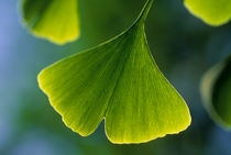 CHILE, SANTIAGO, CLOSE-UP OF GINGKO TREE LEAF by Wolfgang Kaehler