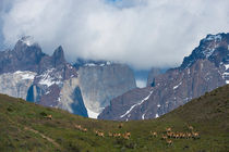 Guanaco (Lama guanicoe) herd with Paine Mountains in background in Torres del Paine National Park in Patagonia, Chile von Wolfgang Kaehler