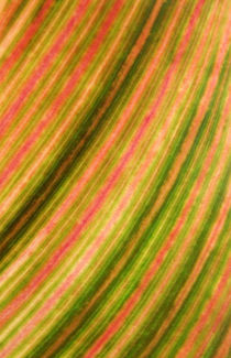 Abstract, farbenfrohes, strukturiertes Blatt des Blumenrohrs (leaf of canna indica, tropicanna) by Dagmar Laimgruber