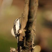 Baumläufer by Susann Mielke