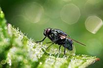 Fliege im Morgentau von Tobias Bräuning