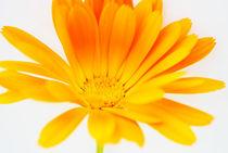 Gelbe Blüte von hannahw