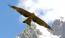 Adler in den Alpen von Wolfgang Dufner