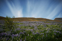 Lupin, Iceland by intothewide
