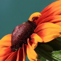 Orange sunflower by Andras Neiser