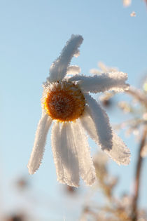 Hoarfrost-covered flower by Intensivelight Panorama-Edition
