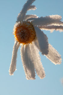 Frosty flower by Intensivelight Panorama-Edition