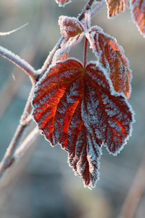Red frosty leaf von Intensivelight Panorama-Edition