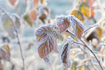 Frost covered bramble leaves by Intensivelight Panorama-Edition