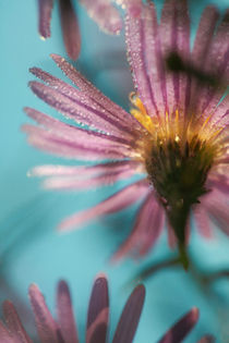 Autumn aster by Intensivelight Panorama-Edition