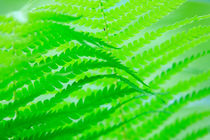 Green wave of fern leaves by Intensivelight Panorama-Edition