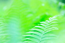 Spring green fern leaves by Intensivelight Panorama-Edition