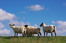 Die Schafe von AD DESIGN Photo + PhotoArt
