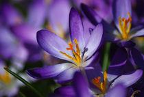 Purple Spring Crocus by Jacqi Elmslie
