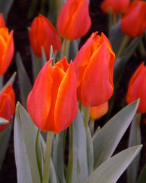 Tulpenblüten by lorenzo-fp