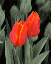 Tulpenblüten auf Grün von lorenzo-fp