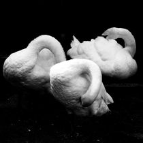 Swans daily grooming von Andras Neiser