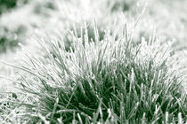 Frost on grasses von Intensivelight Panorama-Edition