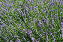 Flowering lavender von Intensivelight Panorama-Edition