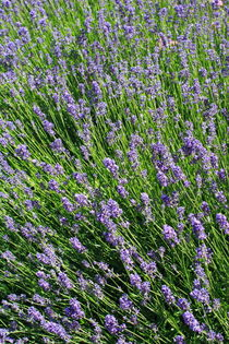 Lavandula angustifolia von Intensivelight Panorama-Edition