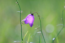 Harebell von Intensivelight Panorama-Edition