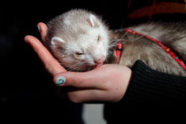 Pet ferret licking a hand von Intensivelight Panorama-Edition