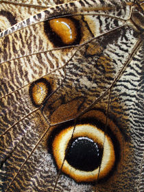 Schmetterling-Makro, Flügel des Bananenfalters, detail of owl butterfly, caligo eurilochus von Dagmar Laimgruber