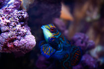 Yellow-and-blue-fish-srgb