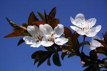 Kirschblüten von Karin Dietzel