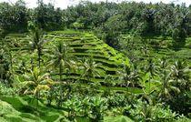 Reisfeld auf Bali von reisemonster