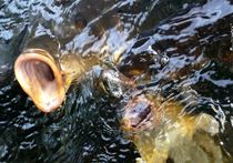 Tempelfisch von reisemonster