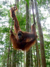 OrangUtan auf Sumatra von reisemonster