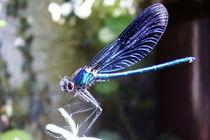 Libelle von Marina von Ketteler