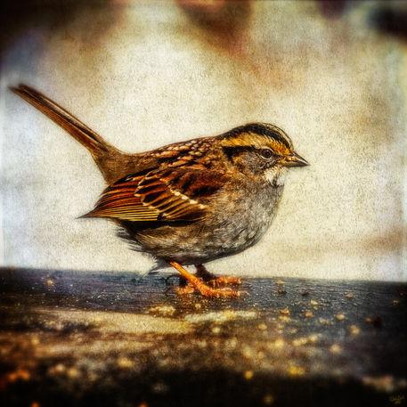 Fatsparrow2