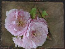 Mandelblüte von Elke Balzen