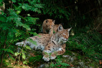 Female lynx with cub von Intensivelight Panorama-Edition