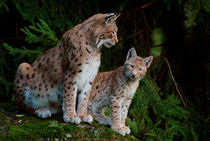 Lynx mother with her kitten von Intensivelight Panorama-Edition