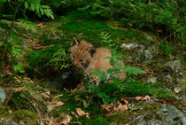 Playing lynx cub by Intensivelight Panorama-Edition