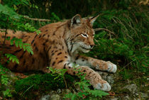 Lynx resting in the forest von Intensivelight Panorama-Edition