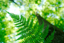 Spring fern and looming tree by Intensivelight Panorama-Edition