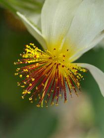 Blüte der Kapländischen Zimmerlinde, Sparrmannia, Blossom of african linden   von Dagmar Laimgruber