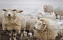 Sheep von Jeremy Sage