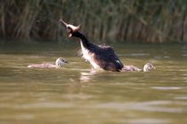 Grebe mama shakes herself with two chicks by Andras Neiser